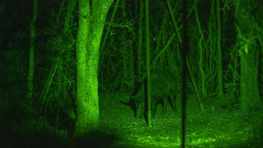 green light for hog hunting