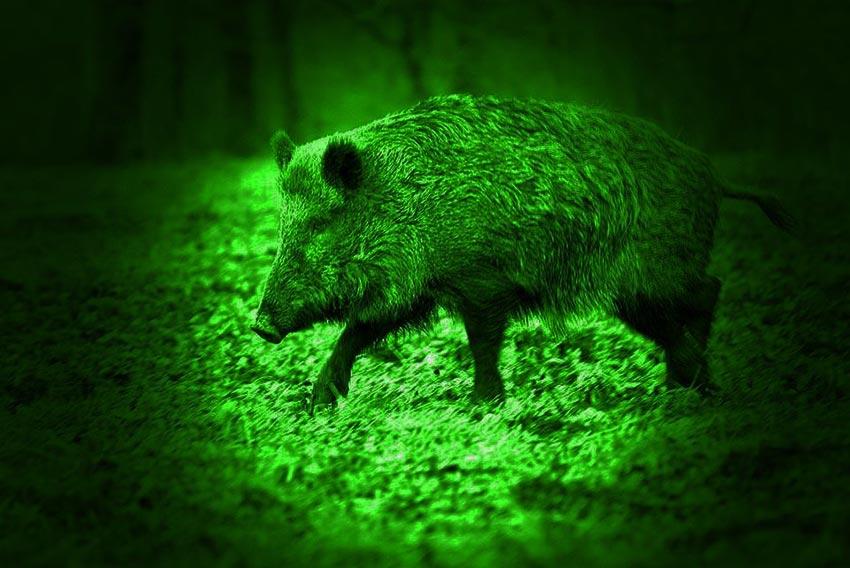 night hunting, feral hog hunting light